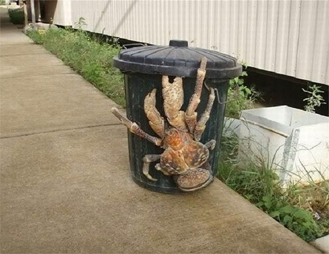 1. Le crabe de cocotier qui peut atteindre 1 mètre d'envergure